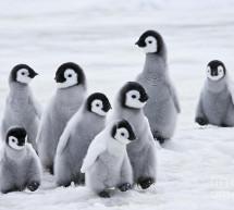 Des scientifiques disent que des milliers de poussins de manchots empereurs de l'Antarctique ont été exterminés