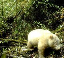 Un panda albinos a été photographié dans une réserve naturelle chinoise