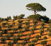 La crise de l'olivier en Italie s'intensifie à mesure de la propagation d'une maladie mortelle pour les arbres